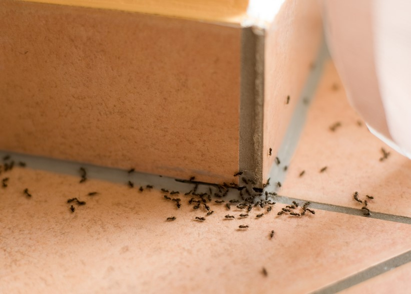 4 Ways Ants Will Take Over Your Home